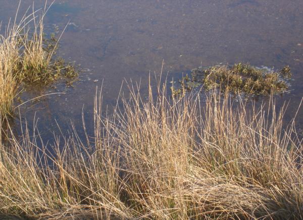 Herbes au bord de l'eau