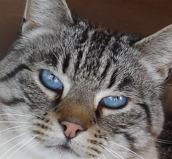 Regard du chat Saphir