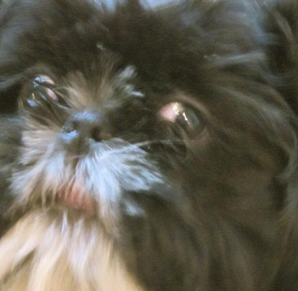 L'honorable chien Monsieur Tsu